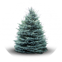 blue-spruce-product
