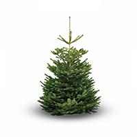 nordman-fir-product