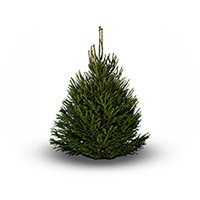 Norway-Spruce-Product