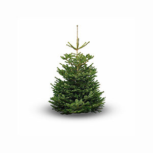 nordmann fir on a white background