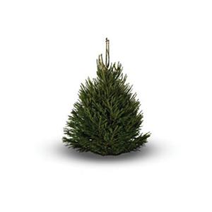 Fresh cut norway spruce christmas tree